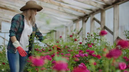 favori : A female gardener is walking in a gloved greenhouse watching and controlling roses grown for her small business. Florist girl walks on a greenhouse and touches flowers with her hands.