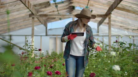 calcular : Horny beautiful girl businessman florist walks through the greenhouse with a tablet computer checks the grown roses, keeps track of the harvest and plans to deliver flower business clients.