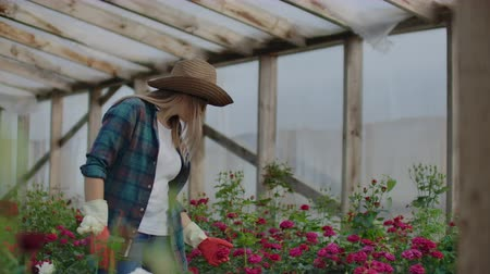 commercial cultivation : A female gardener is walking in a gloved greenhouse watching and controlling roses grown for her small business. Florist girl walks on a greenhouse and touches flowers with her hands.