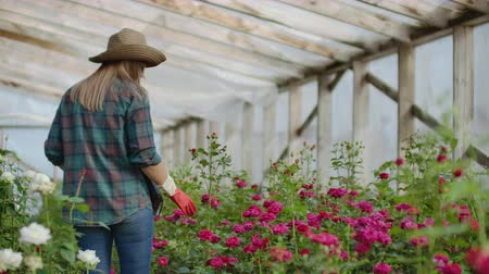 zimmerpflanze : Back view Young woman farmer walks in a flower greenhouse and examines the grown roses, flower business.