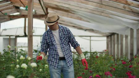 virágárus : A male gardener is walking through a greenhouse with gloves looking and controlling the roses grown for his small business. Florist walks on a greenhouse and touches flowers with his hands.