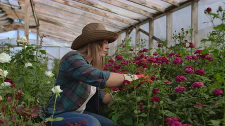 floriculture : A young woman florist takes care of roses in a greenhouse, sitting in gloves, examining and touching flower buds with her hands. Stock Footage
