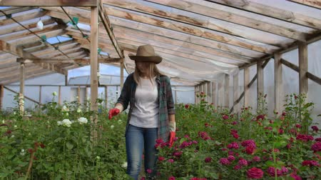 floriculture : A young woman florist walks through a greenhouse caring for roses in a greenhouse examining and touching flower buds with her hands