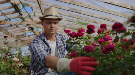 snoeien : Greenhouse with growing roses inside which A male gardener in a hat inspects flower buds and petals. A small flower growing business.
