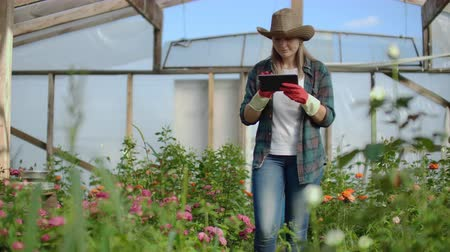 chrysanthemum : A florist with a tablet computer walks in a greenhouse and audits and checks flowers for small business accounting, touch and watch plants. Stock Footage