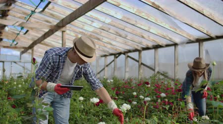flowerpots : Modern small flower growing business. Colleagues florists work together with tablet computers in a greenhouse. 2 modern gardeners inspect flower buds together. Stock Footage