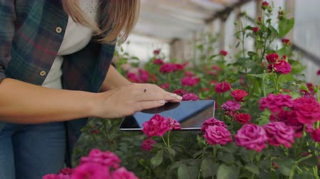 csöves virág : Modern rose farmers walk through the greenhouse with a plantation of flowers, touch the buds and touch the screen of the tablet