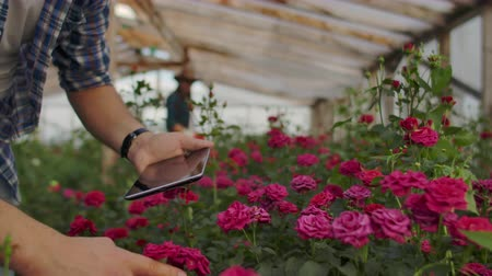 floweret : Modern rose farmers walk through the greenhouse with a plantation of flowers, touch the buds and touch the screen of the tablet
