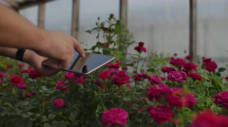 csöves virág : Close-up hands gardener florist. modern rose farmers walk through the greenhouse with a plantation of flowers, touch the buds and touch the screen of the tablet