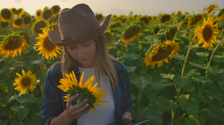 botanikus : The female is studying sunflowers on the field