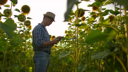 sombrero de paja : The scientist is observing sunflowers in summer day on the field Archivo de Video