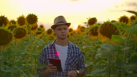 botanikus : Farmer on the field with sunflowers works on the ipad in summer evening