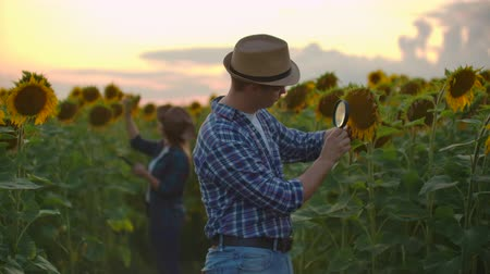 field study : Boy and woman on the sunflowers field in nature at sunset