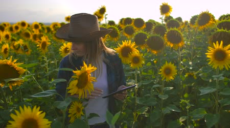 agronomist : The young female is studying sunflowers on the field Stock Footage