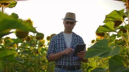 field study : The man walks on the sunflowers field in nature