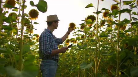 field study : The man is observing sunflowers in summer day on the field