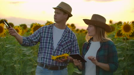 accounting : Loving couple farmer manager on the sunflowers field in nature