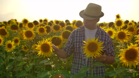 field study : A young farmer in a hat at sunset with a tablet computer touches sunflowers in the field and collects data for crop analysis