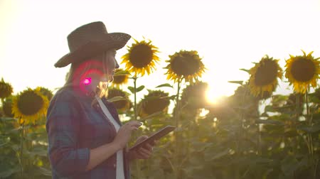 подсолнухи : Farmer woman uses modern technology in the field. A man in a hat goes into a field of sunflowers at sunset holding a tablet computer looks at the plants and presses the screen with his fingers. Стоковые видеозаписи
