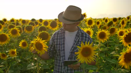 agronomist : The man farmer touch the sunflower with your hands and inspect, enter data into the tablet