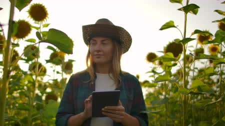 field study : Farmer woman uses modern technology in the field. A man in a hat goes into a field of sunflowers at sunset holding a tablet computer looks at the plants and presses the screen with his fingers. Stock Footage