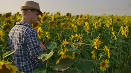 field study : A farmer man in a hat and shirt goes through the field and inspects sunflowers in the field. Watch your harvest. The modern farmer uses a tablet computer to analyze. Stock Footage