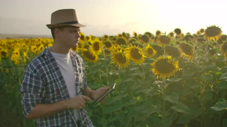 field study : The man works with sunflowers on the field in summer day