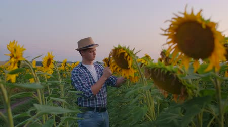 paysan : Young man on the sunflowers field in summer evening Vidéos Libres De Droits