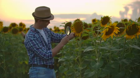 документация : A farmer examines a sunflower through a magnifier on the field in summer evening. A young male writes the characteristics of a sunflower in an electronic book or tablet.