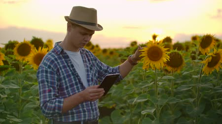 botanikus : Famer on the field with yellow sunflowers works on the tablet