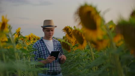 статья : The farmer between high sunflowers in summer evening at sunset Стоковые видеозаписи