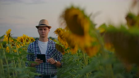 botanikus : The scientist between high sunflowers in summer evening at sunset