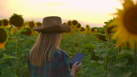 botanikus : Female works on the field with yellow sunflowers