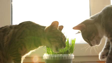 hair growth : two cats eat feline grass. Natural vitamins. care for pets.