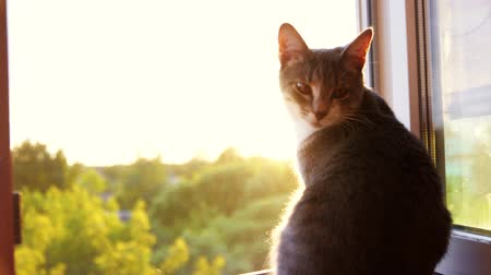 tombul : castrated fat cat sitting on window at sunset