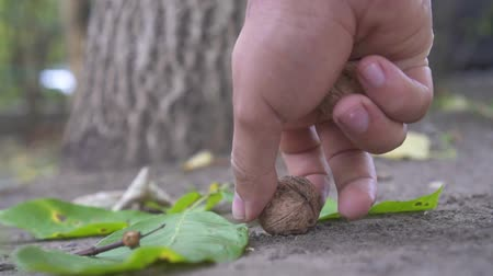 bamboo basket : Harvesting walnuts from the ground,slow mo,close up Stock Footage