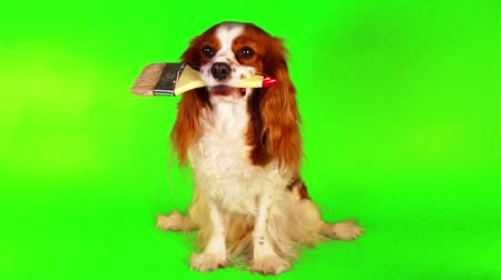 spanyel : Dog with brush on green screen illustrate spring renovations house wall painting or other work Chroma key green. King charles spaniel holding paintbrush.