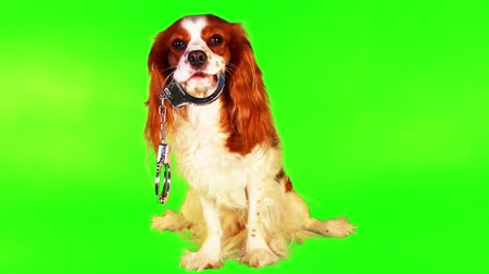 spanyel : Dog with handcuffs. Spaniel puppy against animal cruelty. Police crime or any other concept. Cavalier king charles spaniel on green screen chroma key background. Stok Video