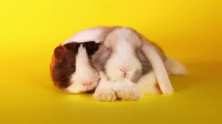 gine : Animals together. Animal friends. Rabbit and cavy guinea pig. Guinea pigs love rabbits?