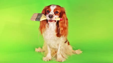 Чарльз : Dog with brush on green screen illustrate spring renovations house wall painting or other work. Chroma key green. King charles spaniel holding paintbrush.