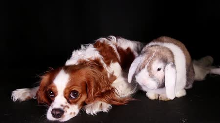 trained : Animal pet friends. Animals resting together. Pets in the studio. Lop rabbit and cavalier king charles spaniel puppy. Bunny and dog.