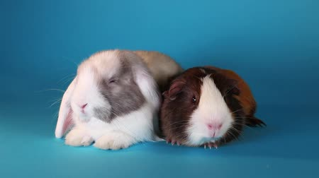 świnka morska : Rabbit lop and guinea pig resting together Wideo