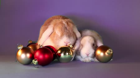 em pé : Christmas rabbits xmas lops. Animals together. Animal friends. Rabbit and baby rabbit. Stock Footage