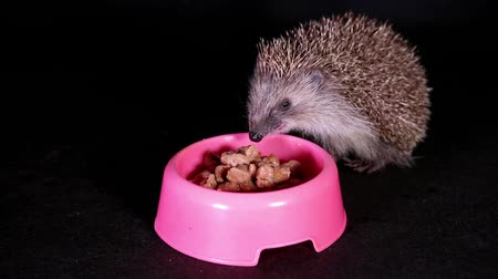 trained : Wild hedgehog eating pet cat food