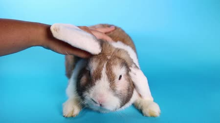 acariciando : Rabbit Caressing. Bunny pet caress bunny love loving lop.