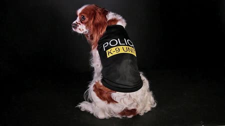 spanyel : Police dog in K9 costume. Trained pet.