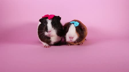 gine : Guinea pigs on pink screen background. Cute cavys. Pig in pink. Stok Video