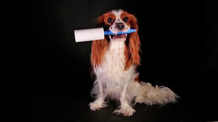 проливая : Dog with lint roller to avoid fur shedding. Стоковые видеозаписи