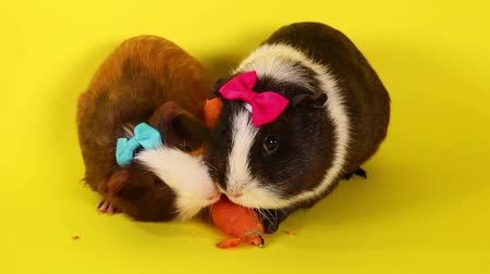 gine : Guinea pigs on yellow screen. Cavy pig eating.