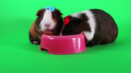 świnka morska : Guinea pigs on green screen. Cavy Pig eating carrot food.